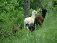 Alpacas and goats